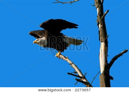 Bald Eagle Ready To Fly