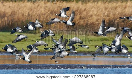 Barnacle Geese In Flight With Vegetation In The Background