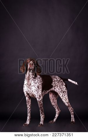 Young German Shorthaired Pointer (kurzhaar) Looking Forward At Camera On Black Background At Studio