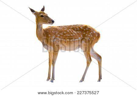 Baby Deer Isolated In White Background Deer Dot Orange