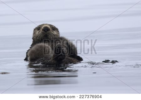 A Female Sea Otter With A Baby Lying On Its Chest Floating On The Water Of A Quiet Ocean