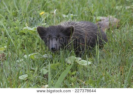 Commanders Blue Arctic Fox Commander Islands That Lurked In The Grass During The Summer Rain
