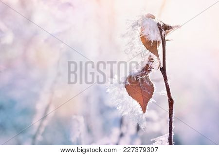 Hoarfrost On The Trees In Winter Forest. Beautiful Winter Background