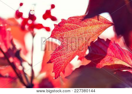 Red Autumn Leaves. Macro Image, Selective Focus