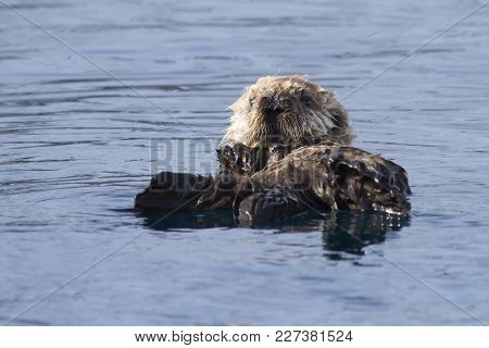 The Puppy Of The Sea Otter Floating On The Spring Sunny Afternoon Near The Island Of Bering