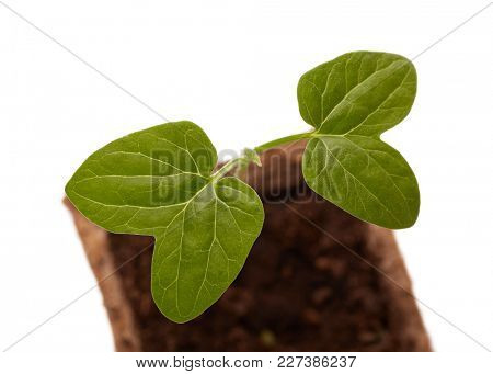 Young flower (Morning glory, ipomoea) seedling on a white background. Spring sprout, gardening.