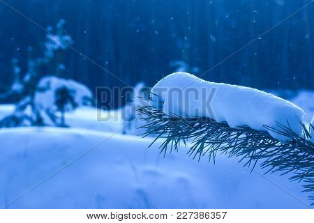 Spruce Branch Covered With Bright Fluffy Snow On A Blurred Background Of The Evening Mysterious Fore