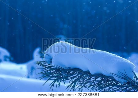 Branch Of A Coniferous Tree Covered With Snow On A Blurred Background Of Tall Trees Falling Snowflak