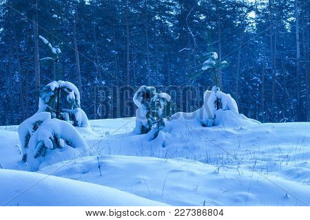 Bright Winter Young Trees Against The Backdrop Of Pine Forest Nobody Around Only Wildlife Exciting A