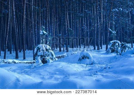 Young Christmas Trees Covered With Snow Against A Background Of Tall Trunks Of Mysterious Pine Trees