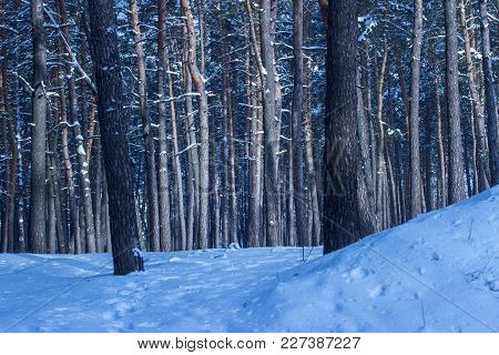 Fantastic Winter Forest With Tall Pine Trees Dense And No One Around The Exciting Atmosphere Of A Br