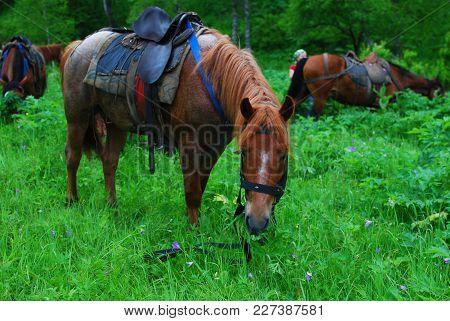 Saddled Horse Eating Grass On A Break
