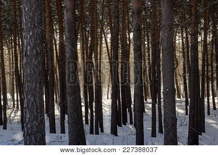 Dense Pine Forest Behind Tall Trees Which Can Be Seen The Bright Glow Of The Winter Sun An Exciting