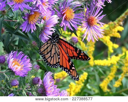 Monarch Butterfly On A Purple Wild Aster In Forest Of Thornhill, Canada, September 18, 2017