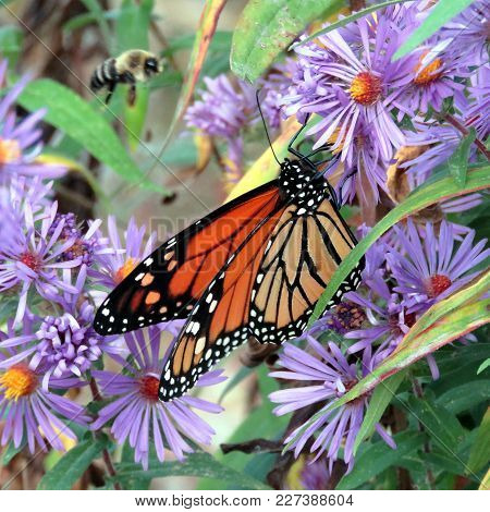 Monarch Butterfly On The Purple Wild Aster In Forest Of Thornhill, Canada, September 25, 2017
