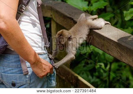 Small Curious Monkey Looking What Woman Has In Pocket. Walking In Ubud Monkey Forest