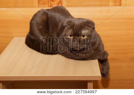 The Scottish Fold Cat Resting On A Chair