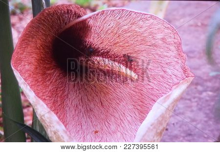 view of an arum in Balearic islands Helicodiceros muscivorus
