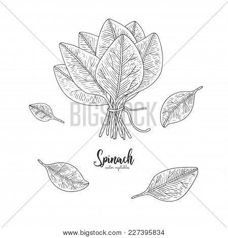 Vegetarian Food. Hand Drawn Isolated Spinach. Vector Vintage Vegetables Illustration. Detailed Veget