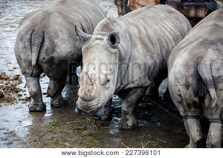 Family of rhinoceroses by the river.