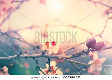Spring Nature Background with blooming almond tree, blossom. Easter Holiday Scene with pink flowers in a garden and sun. Beauty Backdrop art design. Springtime. Beautiful Orchard. Spring holidays