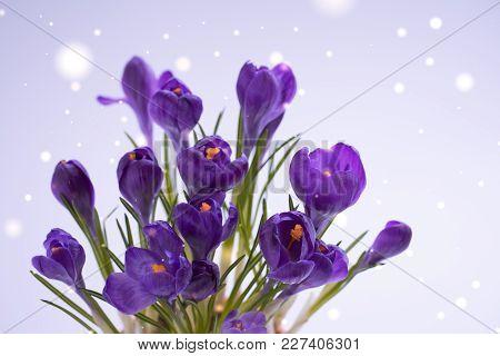 Violet Crocuses On The Grey Bokeh. Spring March Or Easter Postcard Concept.