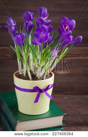 Violet Crocus In Yellow Pot With A Ribbon On Th Old Books. Isolated. Spring Or Easter Postcard Conce