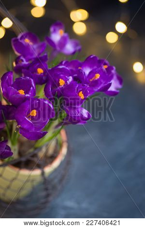 Violet Crocus In Yellow Pot With A Ribbon. Isolated. Spring Or Easter Postcard Concept.
