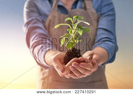 Concept of earth day. Person is holding in hands green sprout on sunset background. Spring, nature, eco and care.