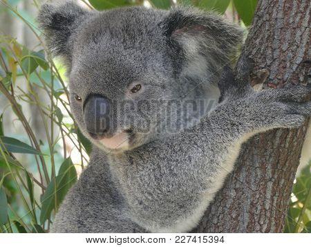 Koala Hanging On A Tree, Kuranda In Australia