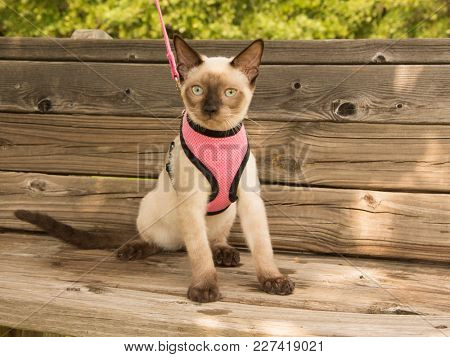 Young Siamese cat in a pink harness sitting on a wooden bench in the shade of a tree, looking at the viewer
