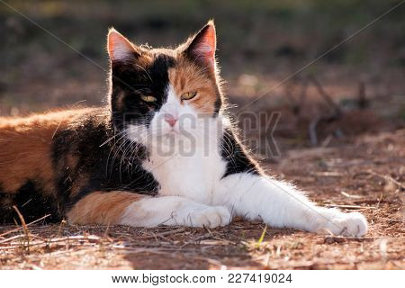 Calico cat backlit by evening sun, resting on the ground