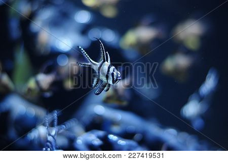 Interesting Banggai Cardinalfish Close-up In New Aquarium De Las Palmas, Poema Del Mar Gran Canaria