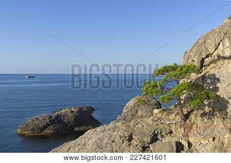 Relict Pine On A Steep Rocky Seashore. Sunny Morning. Karaul-oba, Novyy Svet, Crimea.