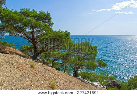 Relict Pines On A Steep Seashore. Sunny Summer Day. Karaul-oba, Novyy Svet, Crimea.