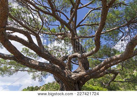 Crown Of A Big Old Relic Pine. Novyy Svet, Crimea.