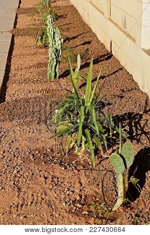 A Row Of Small Cacti Plants Grow In A Yard With Sprinkler Lines Which Drips Water For The Plants