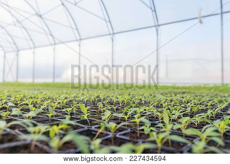 Rows Of Potted Seedlings In Greenhouse