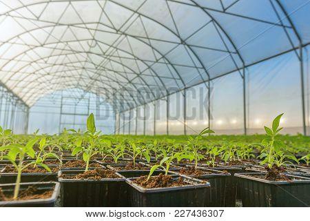 Rows Of Potted Seedlings In Greenhouse, Seedlings Greenhouse