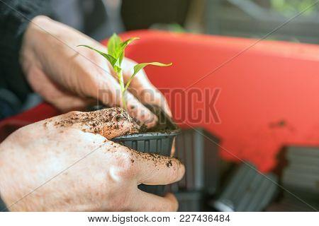 Woman Planting Seedlings In Greenhouse. Greenhouse Seedlings.