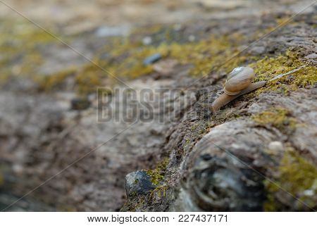 A Small Brown Garden Snail Leaves A Trail Of Slime As It Crossed A Rotting Log Covered With Lichen.