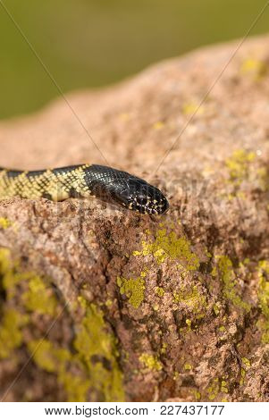 A Desert Kingsnake Crawling Over A Rock Showing How The Yellow On Its Scales Matches The Lichen On T