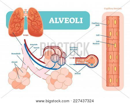 Lungs Alveoli Schematic, Anatomical Vector Illustration Diagram With Capillary Network. Medical Info