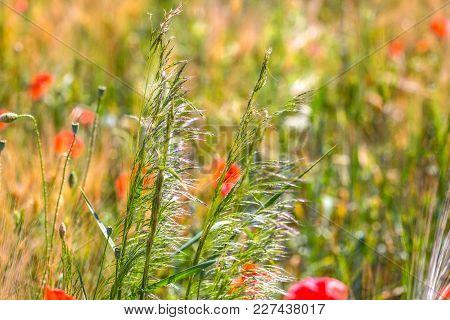 Summer Poppy Field In German Countryside In Detail