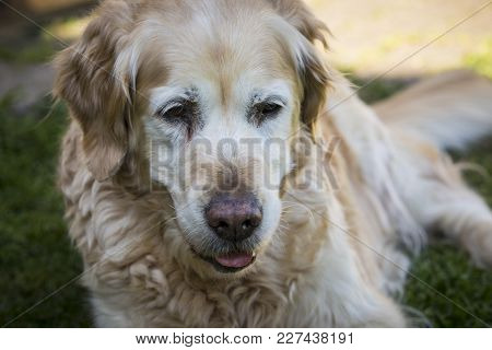 Portrait From Senior Golden Retriever Dog - Outdoor Shot