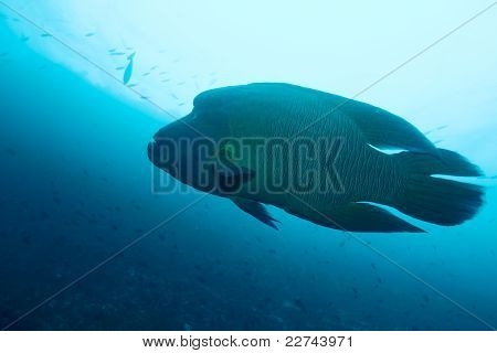 Napoleonfish - Humphead pyskoun (cheilinus Undulatus), Maledivy