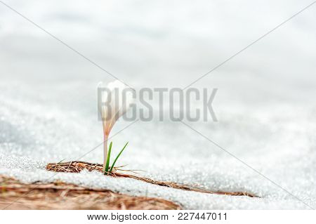 Alone white crocus flower in snow on spring meadow closeup