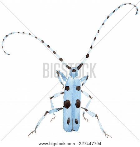 Exotic Beetles Wild Insect In A Watercolor Style Isolated. Full Name Of The Insect: Alpine Barbel. A