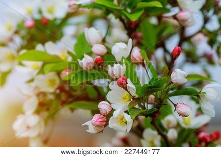 Blossom Tree Over Nature Background. Spring Pink Flowers. Spring Background. Blossom Tree Over