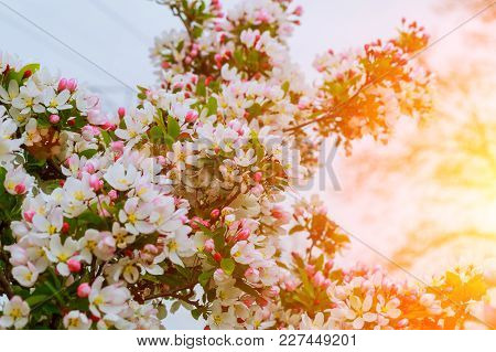 Beautiful Cherry Blossom In Spring Time Over Blossom Tree Over